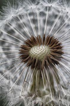 macro-photo Dandelion