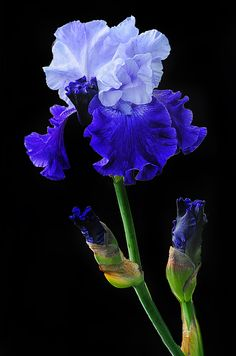 Iris Photograph - Blue On Blue by Dave Mills Blue Iris Flowers, Exotic Flowers, Amazing Flowers, Beautiful Flowers, Iris Garden, Blue Garden, White Iris, Flower Aesthetic, Exotic Plants