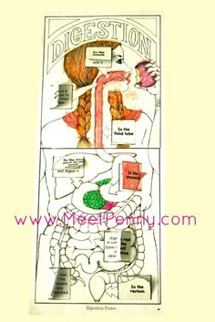 Human Digestive System Lesson with Stomach Model Apologia Anatomy Homeschool Lesson Digestive System For Kids, Human Body Systems, Science Lessons, Teaching Science, Health Lessons, Apologia Anatomy, Human Body Science, Human Body Organs, Science