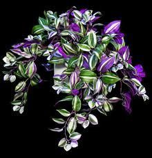 wandering jew ... lovely hanging plant for lower light areas .. note: the male plants of this species are the bloomers...pretty little purple flowers