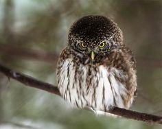 Antti Koli: Pygmy owl (Herttoniemi, Finland)