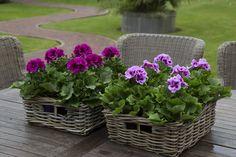 Burghi & Cynthia #Franse #Geranium #Edelgeranie #Regal #Pelargonium #Grandiflorum #garden #plants #flowers