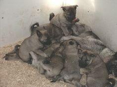 Puppies for sale - Norwegian Elkhounds - Norwegian Elkhounds in Ogden, Iowa