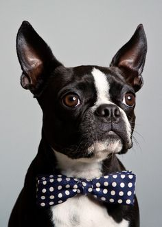 Our Boston Terrier, George (who this is not), will be part of our wedding, whether as the ring bearer, DJ, a photo on our invitations... Somewhere. And yes, he will be wearing a bow tie. =P