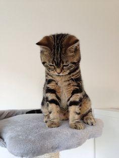 British shorthair, Brits korthaar, Kitten, cat, Golden tabby blotched