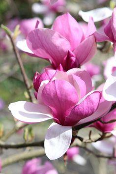 die besten 25 magnolienb ume ideen auf pinterest magnolie japanischer magnolienbaum und. Black Bedroom Furniture Sets. Home Design Ideas
