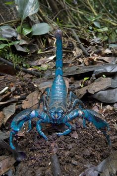 Scientists unveil 20 new species .but with a blue scorpion, and a tarantula the size of a hand, couldn't we have got by without knowing? Blue Scorpion, one of 20 new species discovered by scientists. Scorpions are predatory arthropod animals of the orde Beautiful Bugs, Amazing Nature, Beautiful Pictures, Rare Animals, Animals And Pets, Exotic Animals, Beautiful Creatures, Animals Beautiful, Bugs And Insects