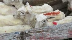 """PETA's video exposé reveals that sheep suffer and die for luxury """"Italian wool."""" Take action now!"""