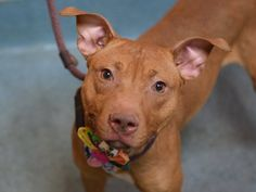 TO BE DESTROYED 03/02/15-Brooklyn Center SPARKLE - A1028370 ***SAFER : AVERAGE HOME*** FEMALE, TAN / BROWN, AM PIT BULL TER MIX, 11 mos OWNER SUR - EVALUATE, NO HOLD Reason NO TIME https://www.facebook.com/photo.php?fbid=970077829671763 https://www.facebook.com/Urgentdeathrowdogs/photos/a.611290788883804.1073741851.152876678058553/970077829671763/?type=3&theater