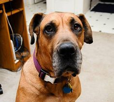 Cocoa - Great Dane/Mastiff Mix (new to rescue - under evaluation) | Big Dogs Huge Paws, Inc