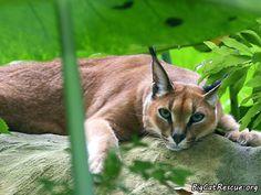 Caracal at Big Cat Rescue