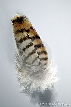 Hawk Feather, love the fluff on this feather…inspiration feather for tattoo Red Tail Hawk Feathers, Bird Feathers, Wood Feather, Feather Art, Feather Painting, Woman Painting, Tattoos That Mean Something, Tasteful Tattoos, Indian Feathers