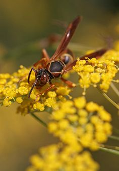 Macro photography picture of a paper wasp going after its business on a yellow flower at Broad Meadow Brook Conservation Center and Wildlife Sanctuary in Worcester, MA. Photograph was taken on an early morning in August 2013. www.RothGalleries.com