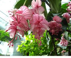 Medinilla Magnifica/Philippine Orchid – Start A Easy Flower Backyard Garden Project - Homemade Ideas (21)