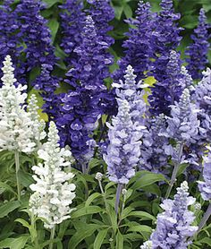 AwesomeAnnuals: Blue and white Salvia-attracts butterflies, supports honeybees,long bloom period