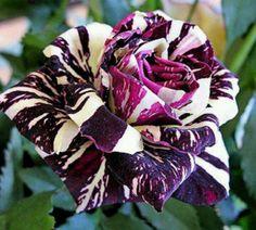 Stunning black dragon rose