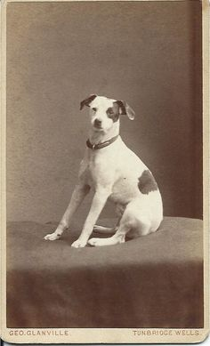 c.1880-1890 cdv of Jack Russell terrier. Photo by Geo. Glanville, Photographer Royal, 1 & 2 The Broadway, Tunbridge Wells. From bendale collection