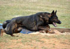 Black Sable German Shepherd | Black Sable Import Male German Shepherd in Newville, Pennsylvania ...