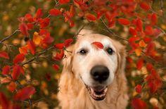 Ele está ficando conhecido na web como o cachorro mais feliz do mundo. Champ, assim se chama, é um Golden Retrivier de 10 anos bastante fotogênico. Numa série tocante, a jovem Candice Sedighan clica o cão em diversas situações, deixando clara a vida feliz que ele leva.