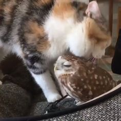 Beautiful Cat Stroking Her Baby Owl Brother Beautiful Cat Stroking Her Baby Owl BrotherYou can find Baby owls and more on our website.Beautiful Cat Stroking Her Baby Owl . Cute Funny Animals, Cute Baby Animals, Cute Cats, Funny Owls, Cute Owl, Cute Animal Videos, Baby Owls, Baby Baby, Cute Creatures