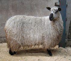 Teeswater sheep 2 by flyhoof, via Flickr