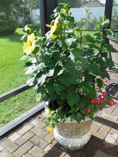 Hibiscus, Lantana, Purslane