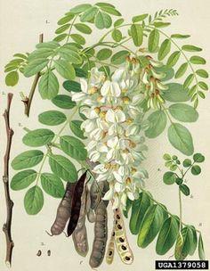 black locust, Robinia pseudoacacia  (Fabales: Fabaceae (Leguminosae)) - 1379058
