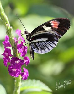 ~~Piano Key Butterfly by alanj2007~~