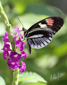 ~~Piano Key Butterfly by alanj2007~~
