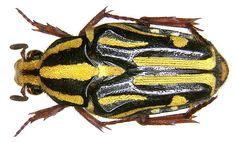 Family: Scarabaeidae Size: 13.7 to 17.7 mm Location: Indonesia, Salawati-Isl, Kaliam leg.det. A.Skale, 2004 Photo: U.Schmidt, 2006
