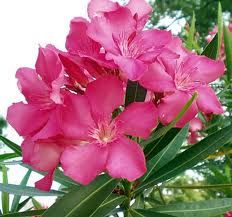 oleander- Beauty and Grace