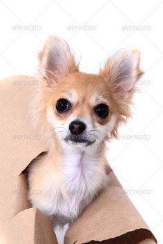Best Chihuahua Canine Adorable Dog - 8b9078bd5a9a2dd0c45334058d8fbda6--cute-dogs-chihuahuas  Graphic_584852  .jpg