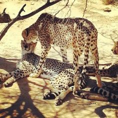 Safari in Cape Town at Inverdoorn Game Reserve- flirting cheetahs!