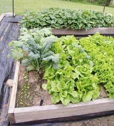 Sweet Potato Companions: Best Companion Plants For Sweet Potatoes - Once you get them out in the garden, what are the plants that grow well with sweet potato vines? You can learn more about companion plants for sweet potatoe Potato Companion Plants, Companion Planting Chart, Companion Gardening, Planting Vegetables, Growing Vegetables, Planting Spinach, Planting Potatoes, Veggies, Potato Gardening