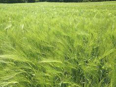 Spring wheat, Croatia.