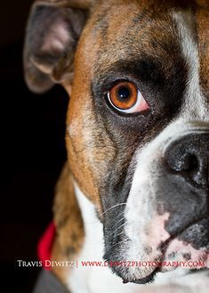 copyright © Travis Dewitz, Dewitz Photography  This is our baby boxer Kane. :)
