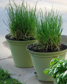 You can keep fresh chives available longer in the winter. Cooking Herbs, Aromatic Herbs, Herbs Indoors, Indoor Planters, Botanical Art, Compost, Google Search, Garden, Plants