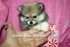 OMG - a teacup pomeranian - so want one...  http://www.staryorkie.com/wp-content/uploads/wpsc/product_images/Victoria%20Secret-Tiny%20Teacup%20Pomeranian%20Puppy%20(18).JPG?type=2
