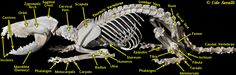 Opossum Skeleton Labeled