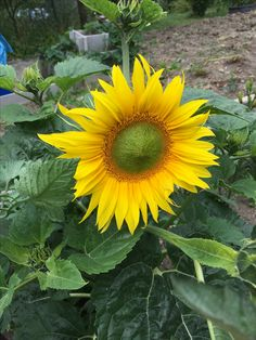My Flower, Plants, Sunflowers, Bee, Bees, Planters, Plant, Planting