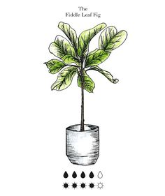 Indoor plant care guide:  fiddle leaf fig, jade, philodendron, more.