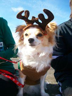chihuahua as a reindeer