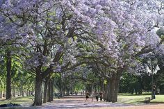Jacaranda Trees in Bloom, Buenos Aires, Argentina Places To Travel, Places To Go, Blooming Trees, Out Of This World, Dream Garden, Luxury Travel, Beautiful Landscapes, Wonders Of The World, Cool Photos