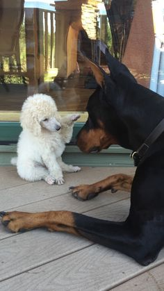 """""""Hello there, giant friend!"""" ==>http://www.amazingdogtales.com/gifts-for-poodles-lovers/ #poodlepuppy"""