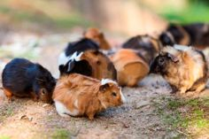 """Guinea pigs were a big hit when they first arrived in England and were sold as pets. The Abyssinian name sounded more exotic than calling them """"Rough Haireds""""."""