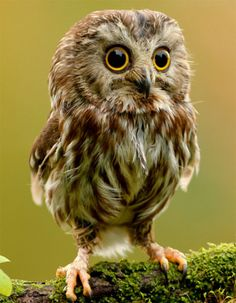 Too Cute! Sawhet owl.....my favorite ! - Explore the World with Travel Nerd Nici, one Country at a Time. TravelNerdNici.com