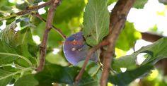 Prunele cu clei: de ce cad și cum se previne asta   Paradis Verde
