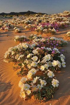 Flowers, Sahara desert, Algeria