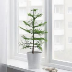 ARAUCARIA Potplant - Kamerspar - IKEA Compost, Potted Plants, Indoor Plants, Pots, Room Interior, Interior Design, Norfolk Island, Ikea Design, Decoration Plante