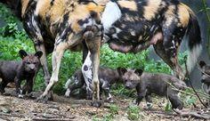 De Afrikaanse Wilde Hondenpups Zijn Voor Het Eerst Buiten. Foto Artis